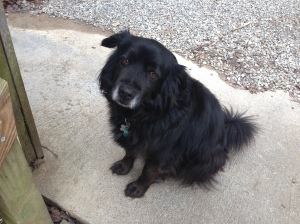 Blackie, camp dog